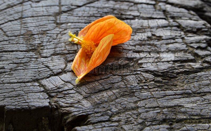 Caduta arancio del fiore del petalo su legno immagine stock