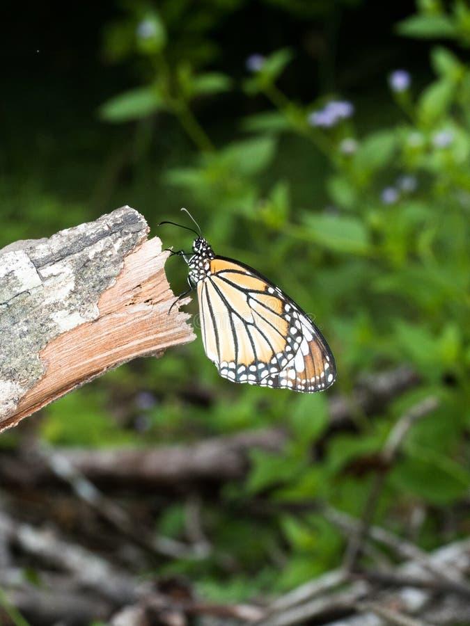 Caduta arancio della farfalla di monarca sul vecchio ramo grigio asciutto in giardino immagini stock libere da diritti