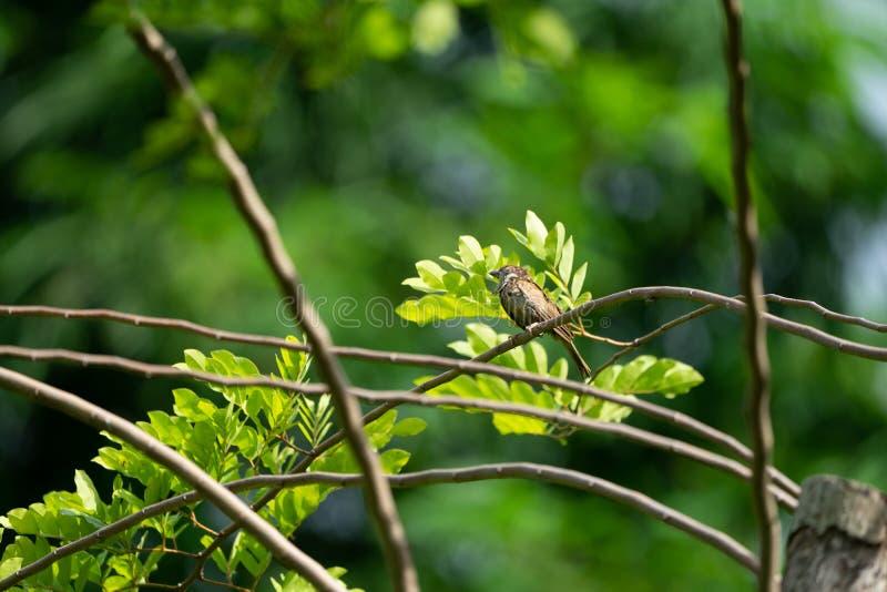 Caduta dell'uccello del passero sopra al piccolo ramo con il fondo scuro di verde della sfuocatura fotografia stock libera da diritti