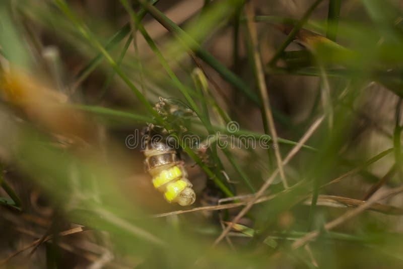 Caduta della lucciola su una lama dell'erba fotografia stock libera da diritti