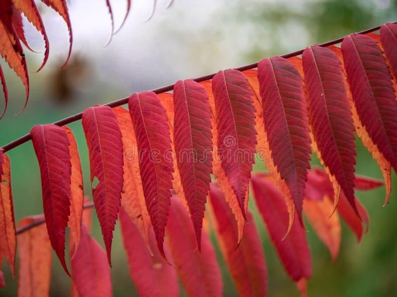 Caduta di Autumn Red Sumac Tree In immagine stock