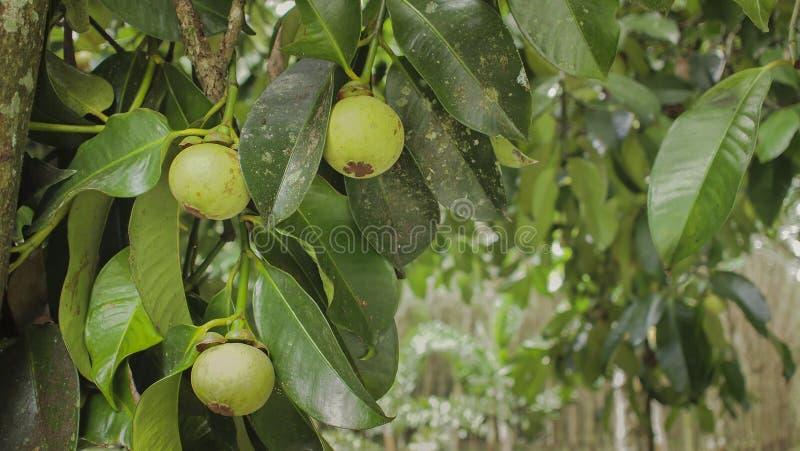 Caduta di frutti del mangostano sull'albero fotografie stock