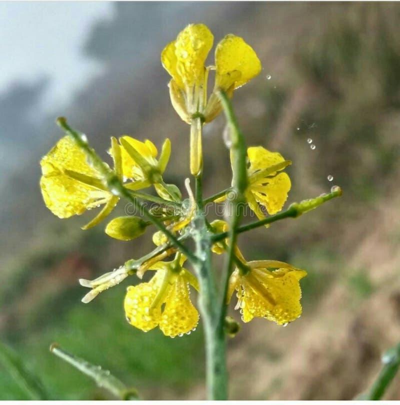 Caduta di Waterdrops dal fiore nella stagione invernale fotografia stock