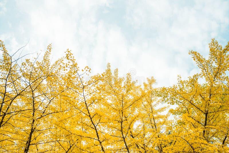 Caduta Foglie del ginkgo di autunno e cielo di autunno fotografie stock libere da diritti