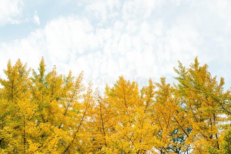 Caduta Foglie del ginkgo di autunno e cielo di autunno fotografia stock