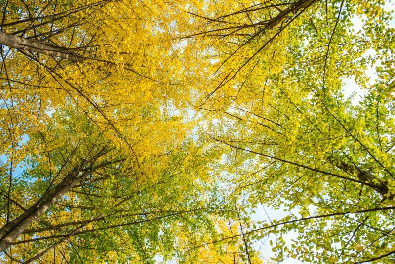Caduta Foglie del ginkgo di autunno e cielo di autunno fotografia stock libera da diritti