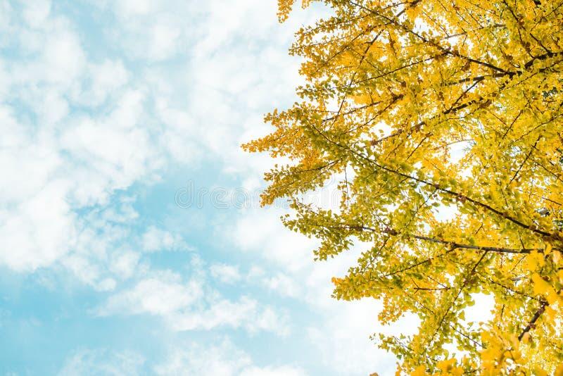 Caduta Foglie del ginkgo di autunno e cielo di autunno immagine stock libera da diritti