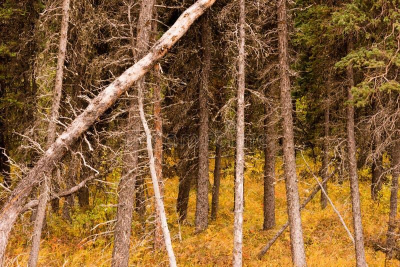 Caduta morta degli alberi sopra Forest Regenertation naturale immagine stock