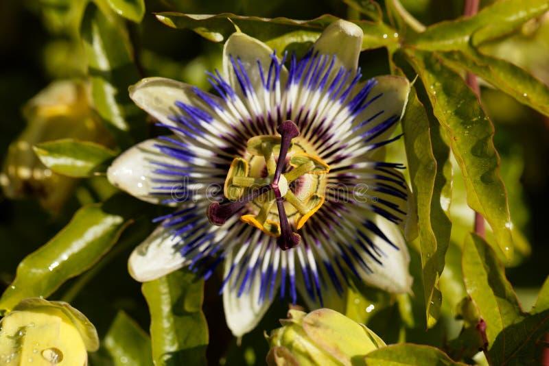 Caerulea común de la pasionaria de la flor de la pasión imágenes de archivo libres de regalías