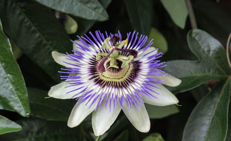 Caerulea de la pasionaria, la pasionaria azul, la pasionaria del bluecrown o flor común de la pasión, floreciendo en jardín imágenes de archivo libres de regalías