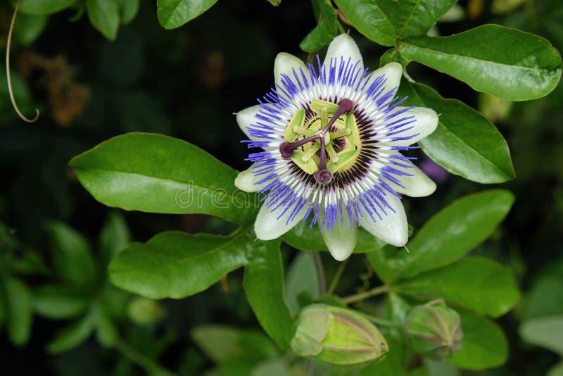 Caerulea de la pasionaria de la flor de la pasión fotografía de archivo libre de regalías