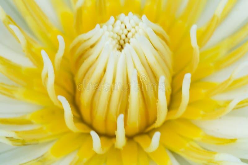 Caerulea Nymphaea стоковые изображения