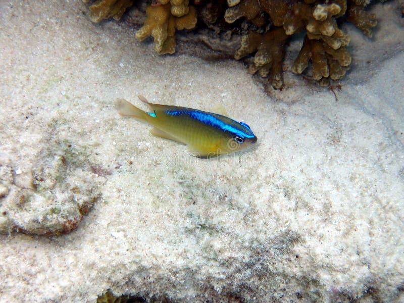 Caerulean Damsel. A little and timid Caerulean Damsel in Maldives indian ocean italian name: Damigella cerulea scientific name: Pomacentrus Caeruleus english stock images