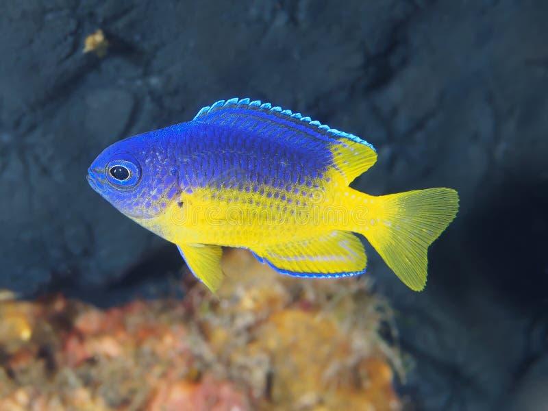 Caerulean damsel. In Bali sea, Indonesia royalty free stock photo