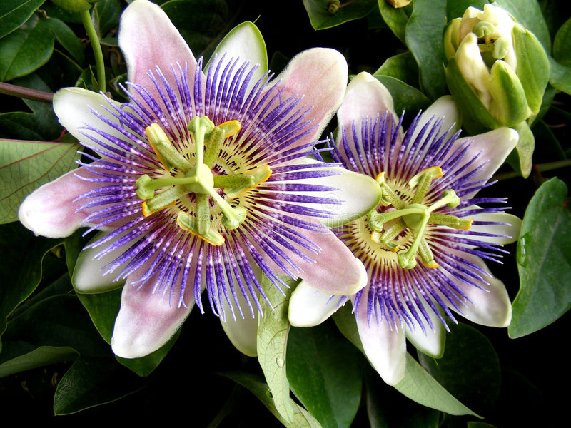 caeruleapassiflora royaltyfri foto