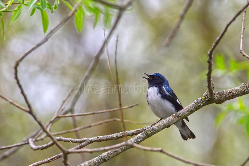 Caerulescens azules Negro-throated masculinos del Setophaga de la curruca que cantan imagen de archivo