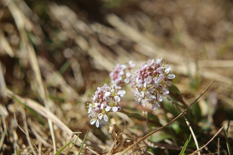 Caerulescens del Thlaspi, la nummularia alpina, in macro colpo fotografie stock libere da diritti
