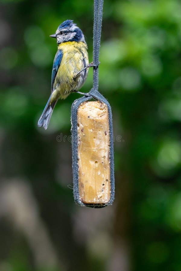 Caeruleus Bluetit Cyanistes Vogel, der Nierenfett von der Gartenzufuhr nimmt lizenzfreies stockbild