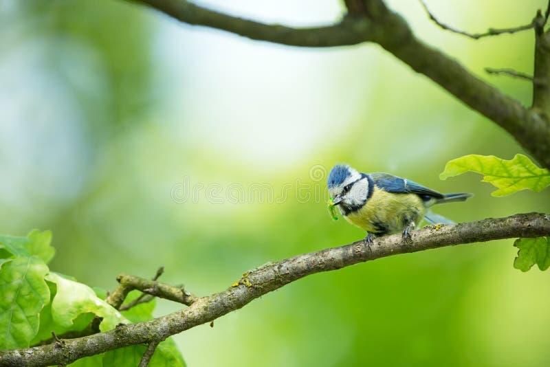 Caeruleus de Cyanistes fauna E Cuadro hermoso Naturaleza libre A partir de vida del pájaro Primavera Pájaro azul foto de archivo