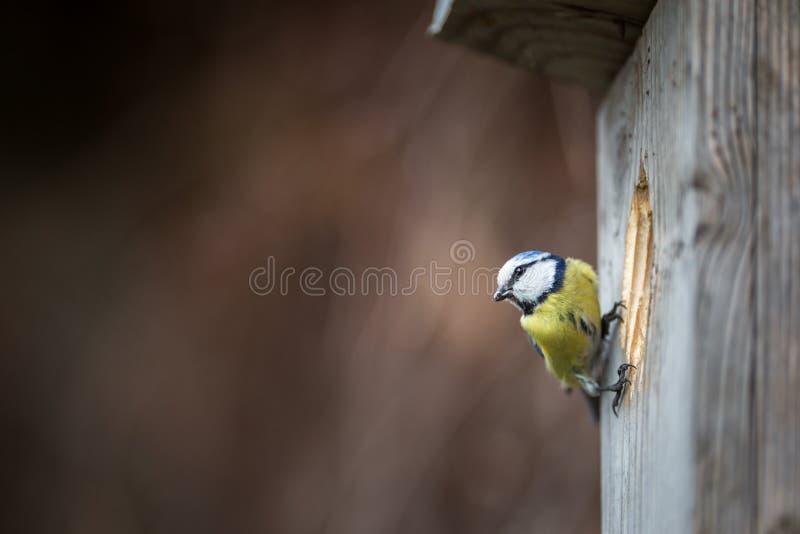 Caeruleus de Parus de mésange bleue sur une maison d'oiseau qu'elle habite image stock
