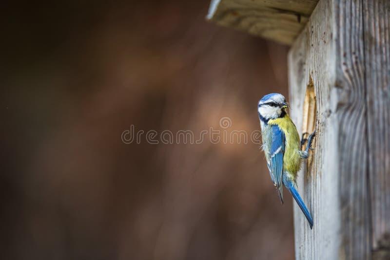Caeruleus de Parus de mésange bleue sur une maison d'oiseau qu'elle habite photographie stock libre de droits