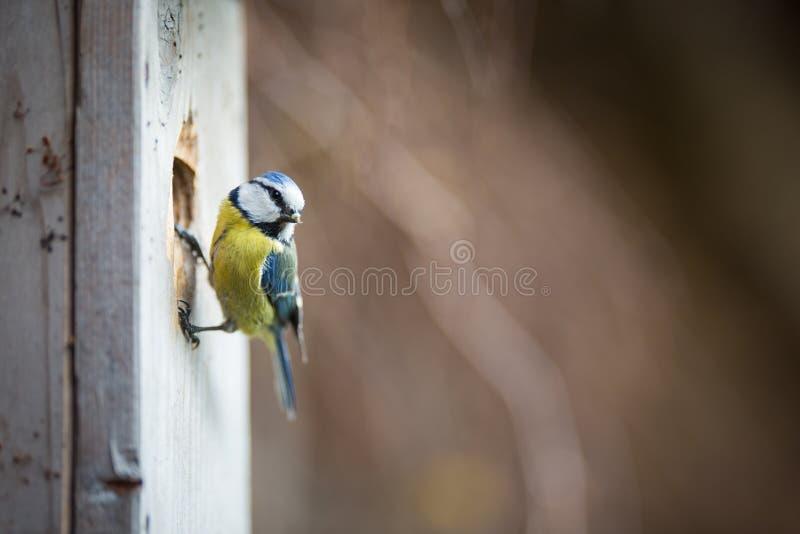 Caeruleus de Parus de mésange bleue sur une maison d'oiseau qu'elle habite photographie stock