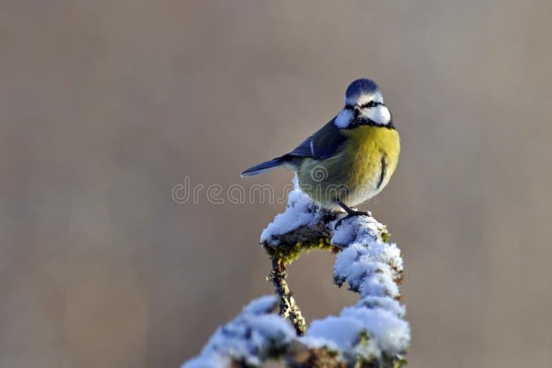 Caeruleus del Parus della cinciarella su un ramo nevoso fotografia stock libera da diritti