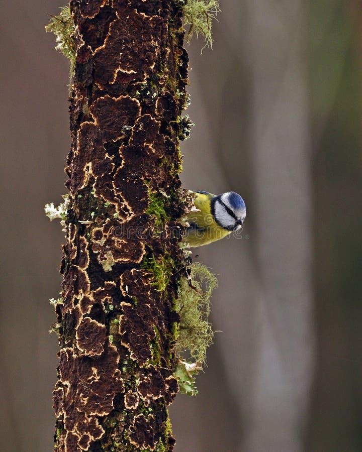 Caeruleus del Parus della cinciarella su un vecchio ceppo fotografia stock libera da diritti