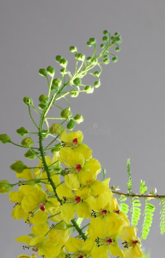 Caesalpinia mimosoides in tuin stock afbeeldingen