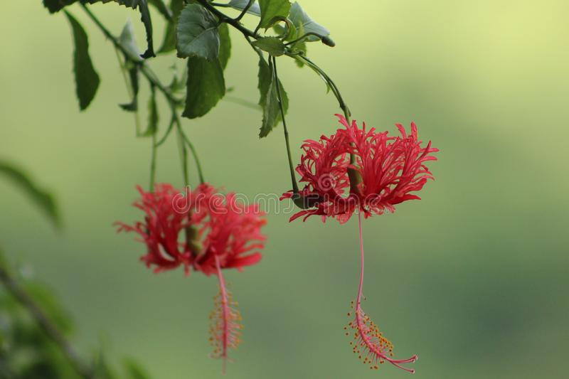 Caesalpinia plant flower. Nit have a crimson red color and very intriguing stock images