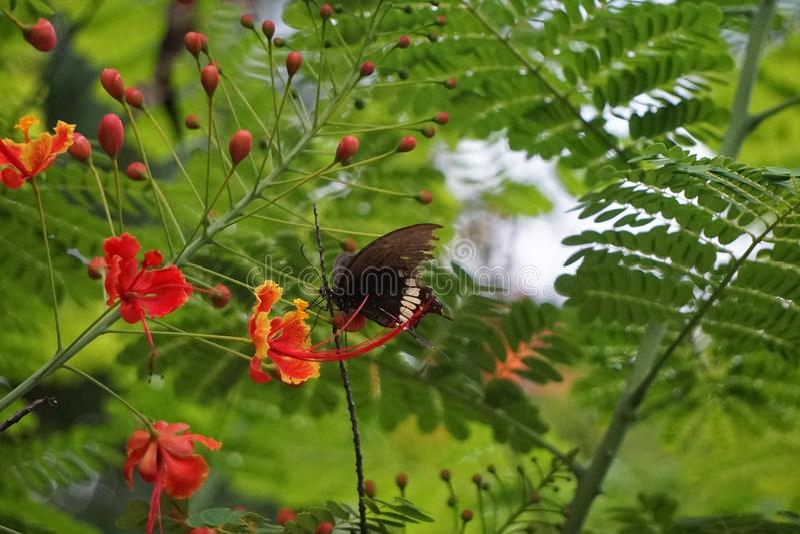 Caesalpinia pulcherrima stock photo