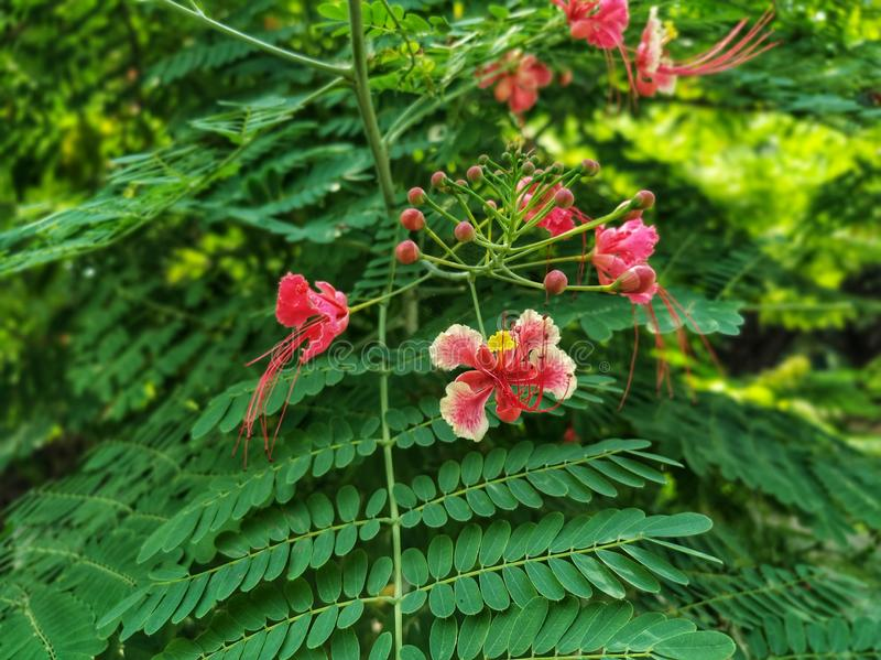 Caesalpinia pulcherrima species of flowering plant. It is a shrub growing to 3 m tall. stock photography