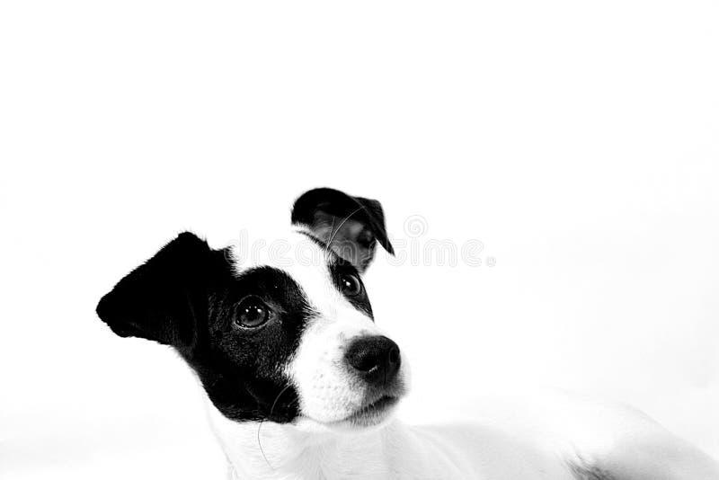 Download Caesar2 stock image. Image of canine, beige, eyes, wrinkle - 104485
