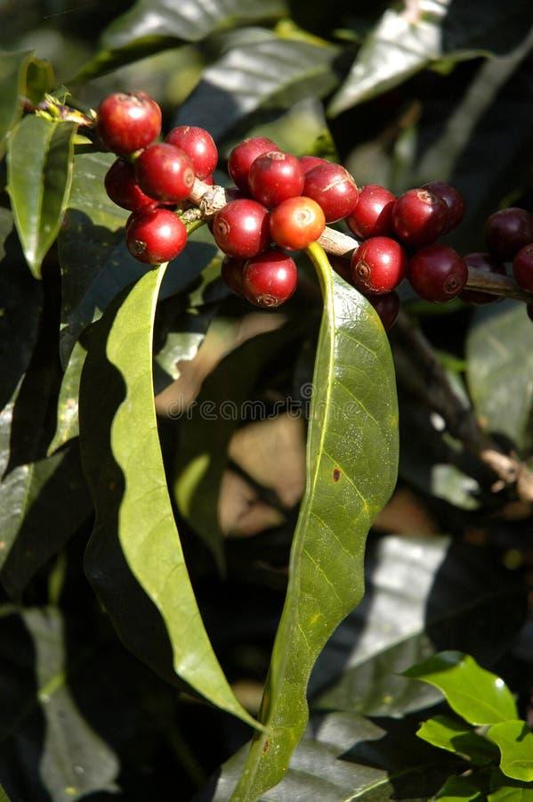Café-árvore guatemala fotos de stock royalty free