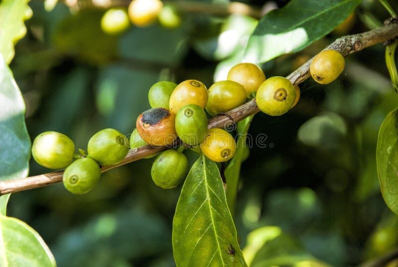 Café-arbre Guatemala photographie stock