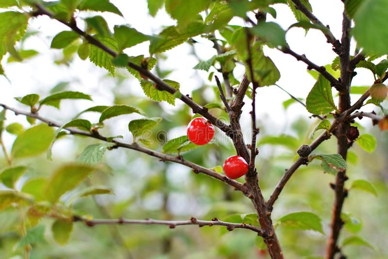 Café da manhã natural - vermelho - bagas deliciosas nos ramos fotos de stock royalty free