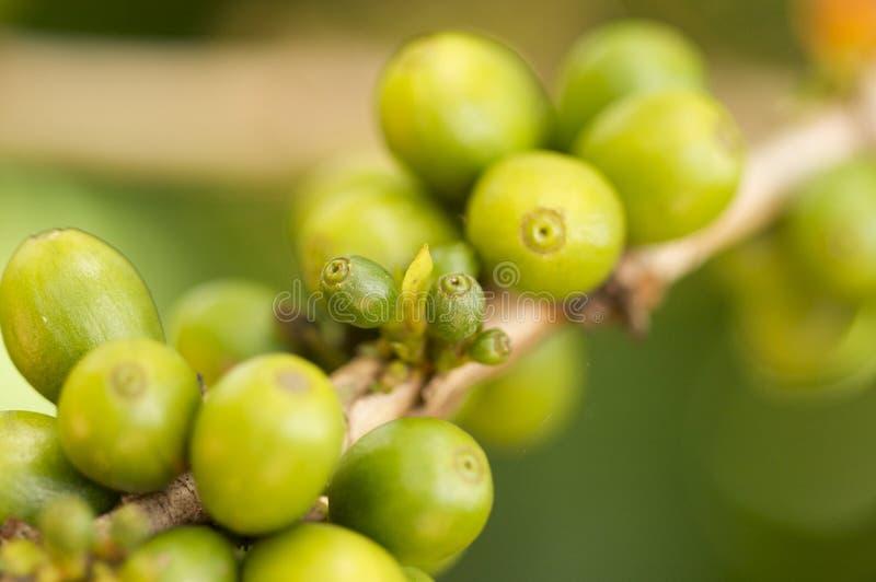 café de branchement d'haricots photo libre de droits