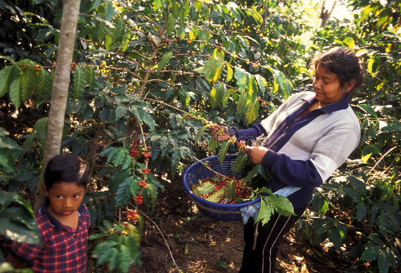 CAFÉ DE L'AMÉRIQUE LATINE GUATEMALA photo libre de droits