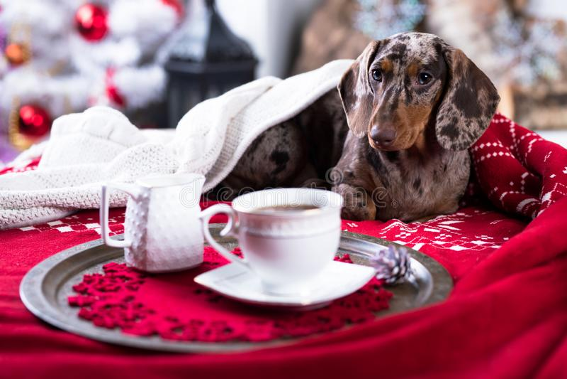 Café del perro basset y de la taza, mañana de la Navidad imagenes de archivo