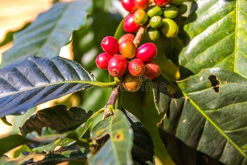 Café fresco rojo y verde imagen de archivo libre de regalías
