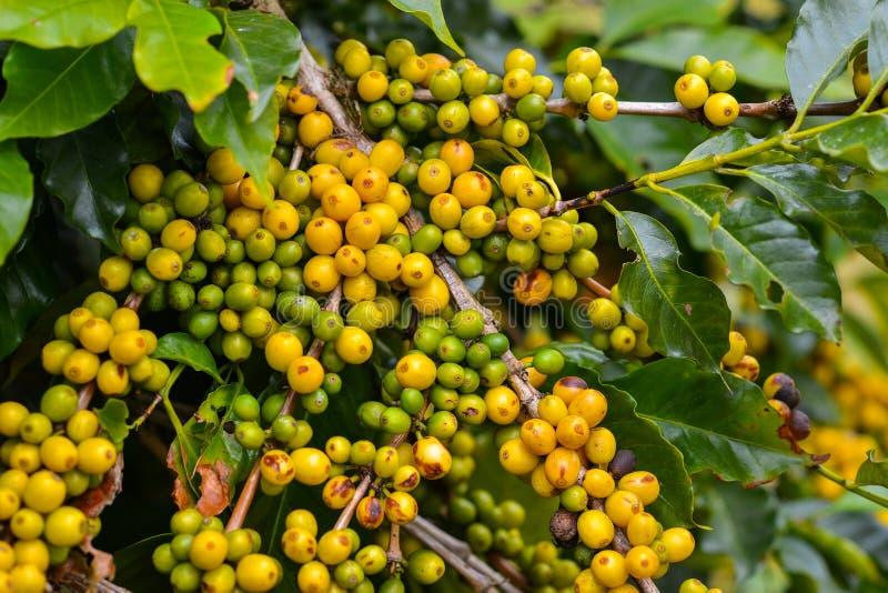 Café - fruits toujours jaunes sur l'usine. photos stock