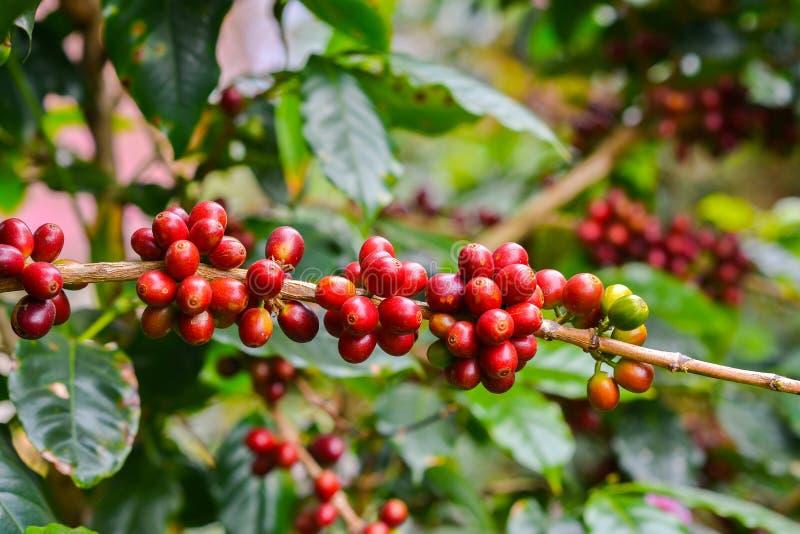 Café - fruits toujours rouges sur l'usine. photographie stock