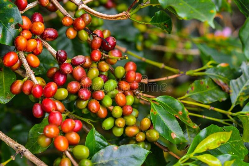 Café - fruits toujours rouges sur l'usine. photographie stock libre de droits