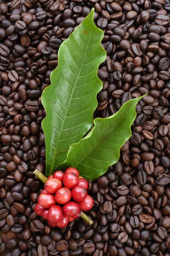 Café mûr rouge sur des grains de café photos stock