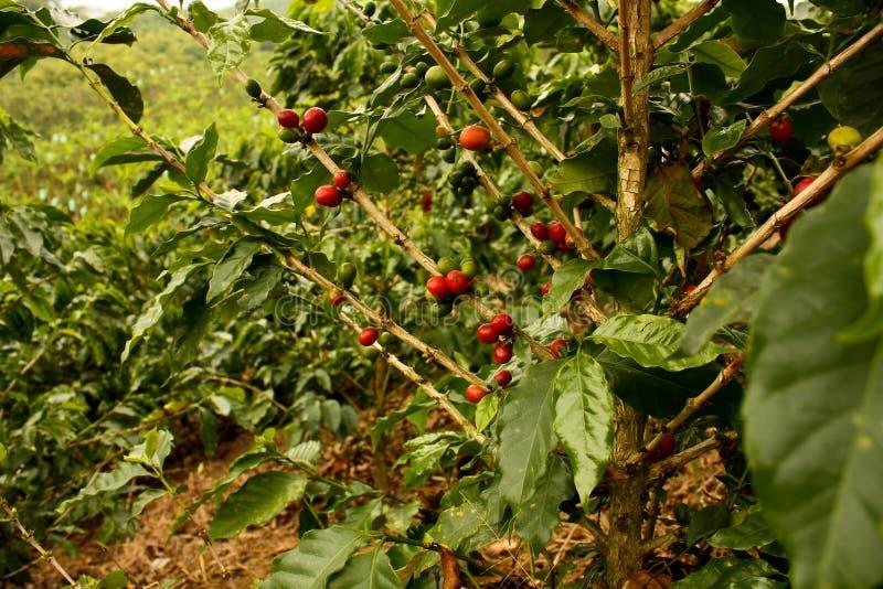 Café. Vales andinos em Colômbia fotografia de stock royalty free