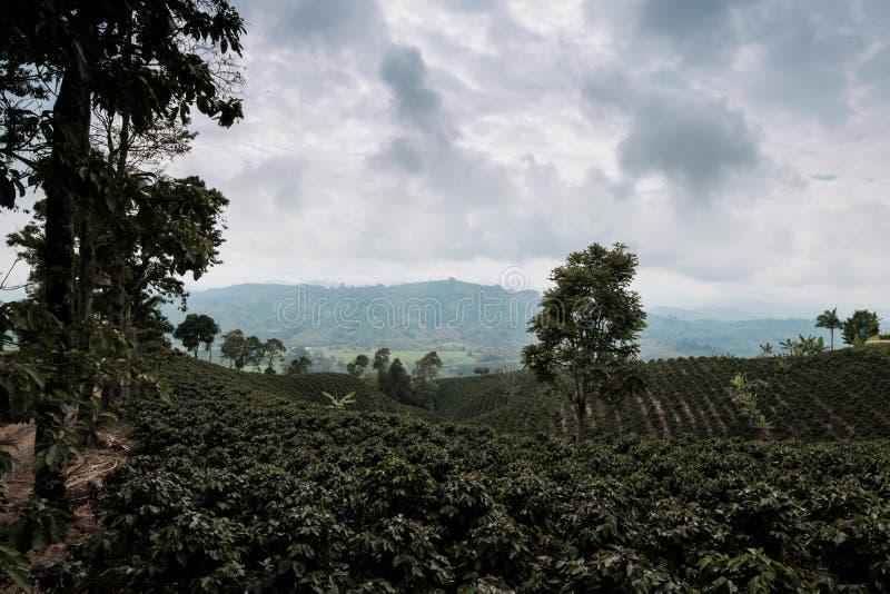 Caféiers tout près une ferme de café dans un secteur de montagne de la région de café de la Colombie photos stock