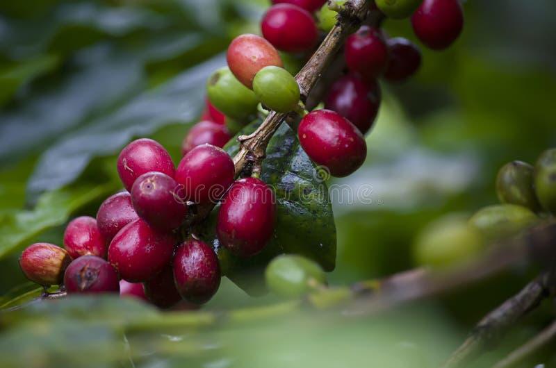 Caf? Vraie usine de caf? avec les haricots rouges sur les grains de caf? r?tis photos stock