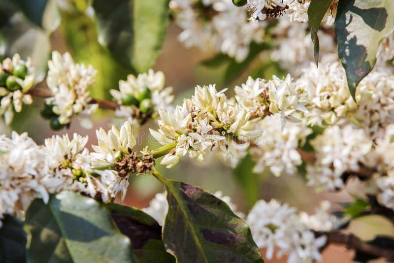 Cafeto, flor del café fotos de archivo