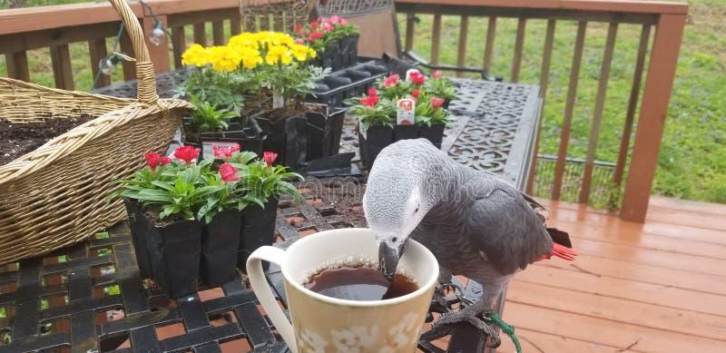 Caffè bevente del pappagallo fotografia stock