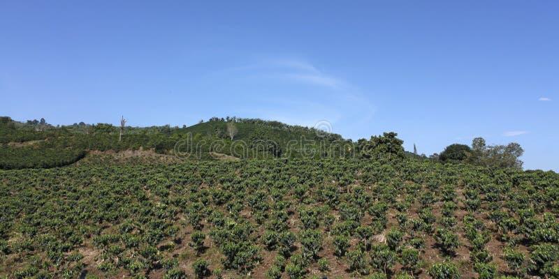 Caffè del terreno coltivabile in Colombia fotografia stock libera da diritti